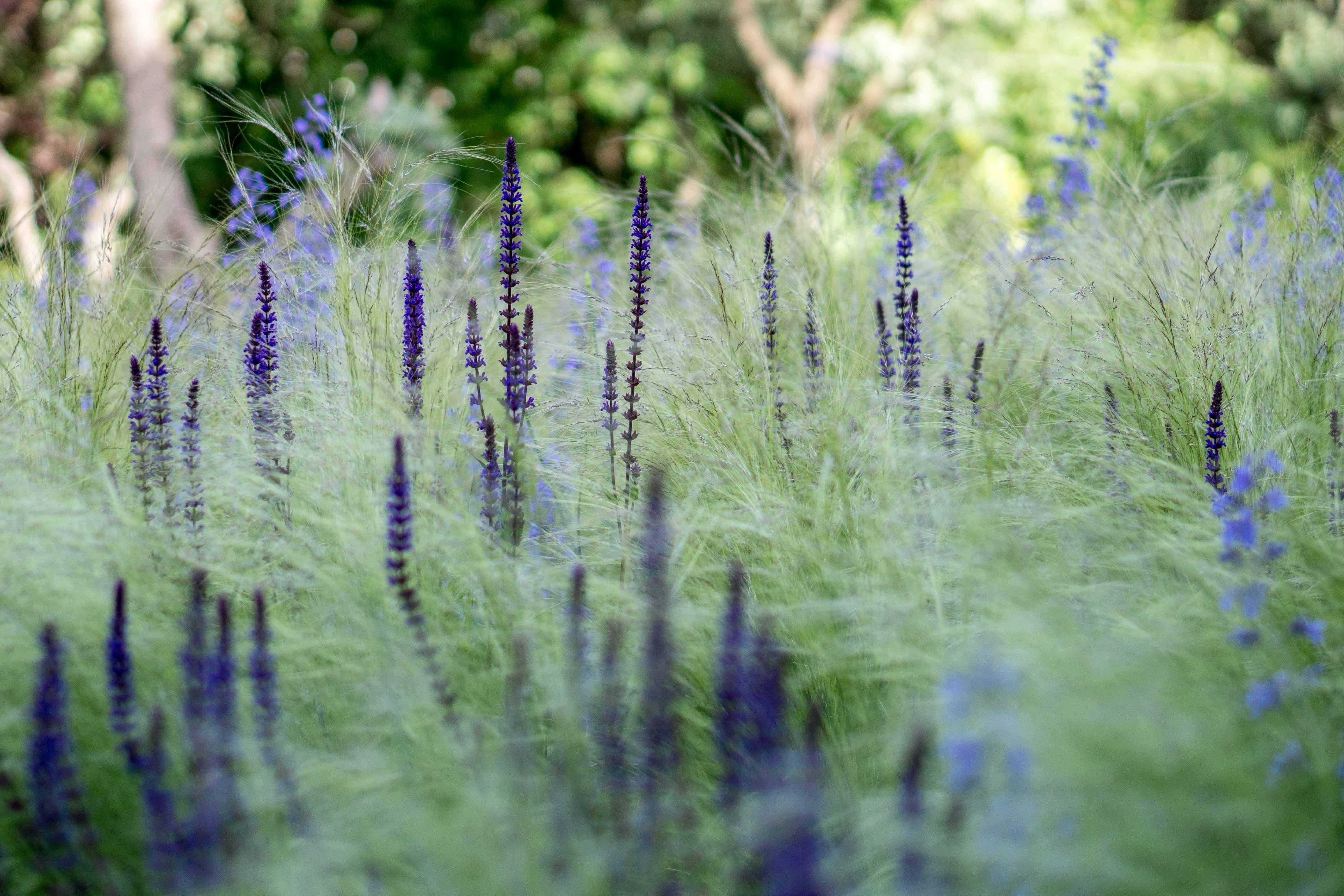 Image result for salvia indigo spires on white background 4649x3099