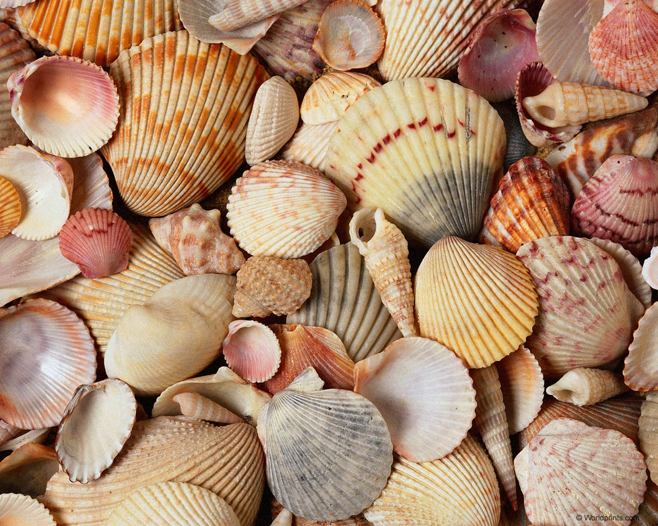 Sea Shells Wallpapers Best   The Best Wallpaper and Backgrounds 1280x1024