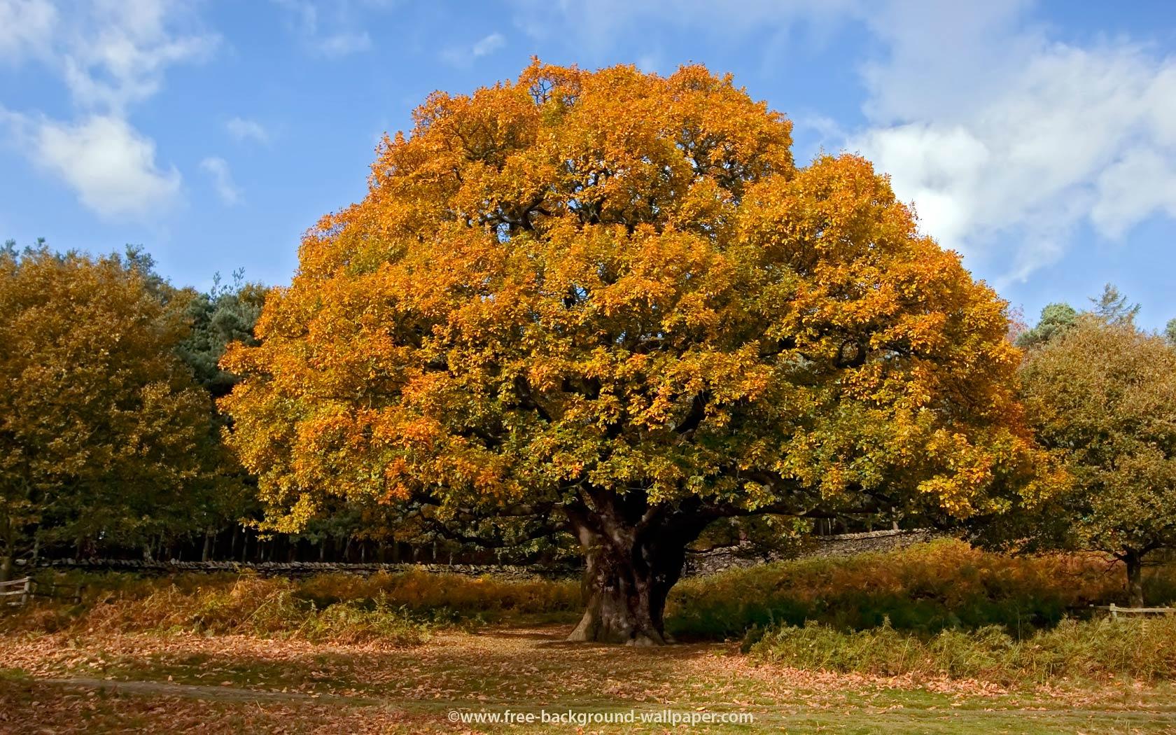 Oak Tree in Autumn Tree Backgrounds   1680x1050 pixels 1680x1050