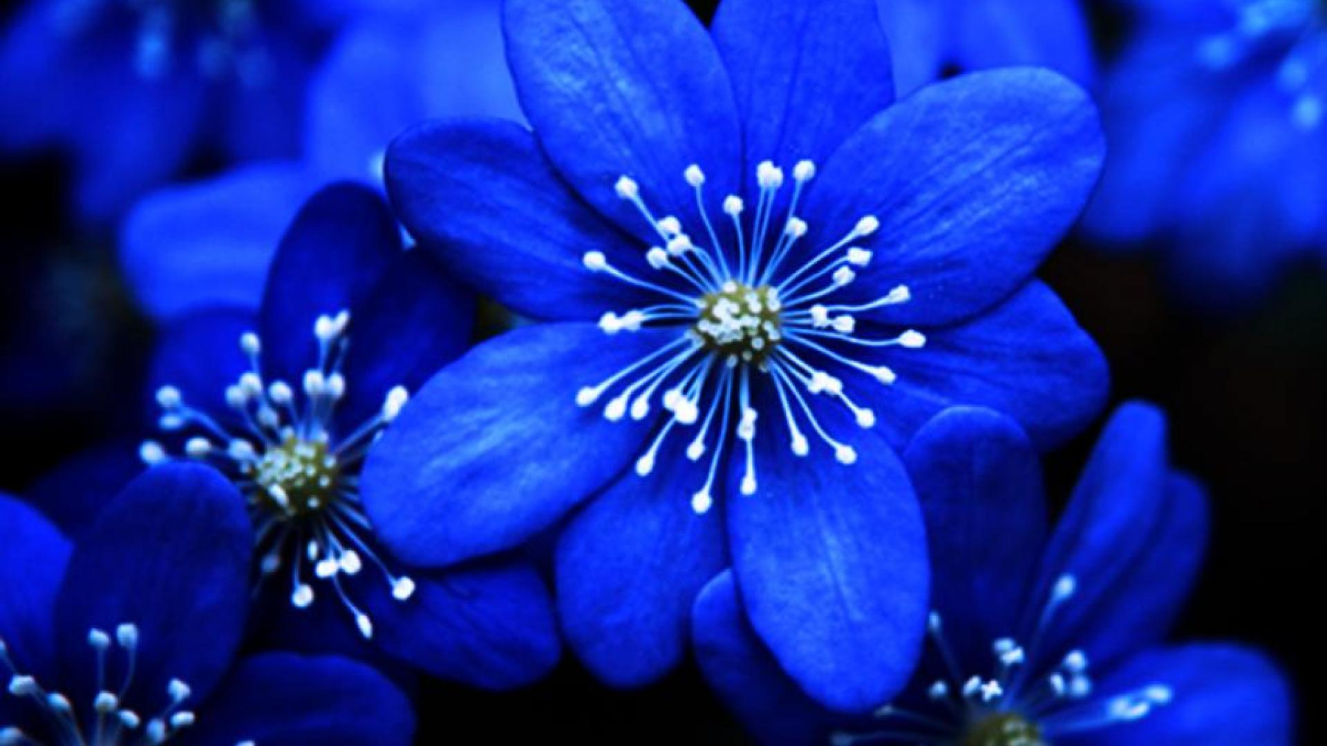 Blue Flower Widescreen High Definition Wallpaper