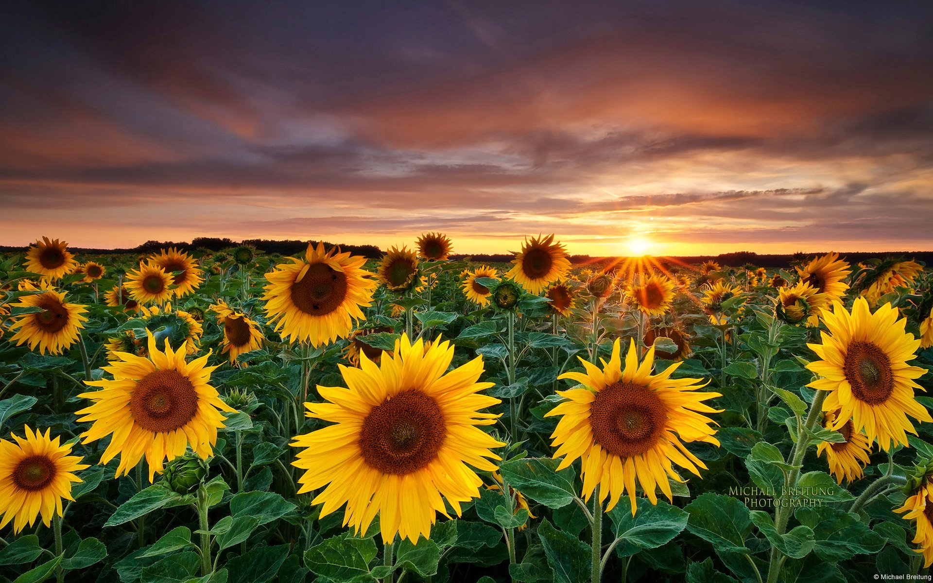 Sunflower Field 1920x1200