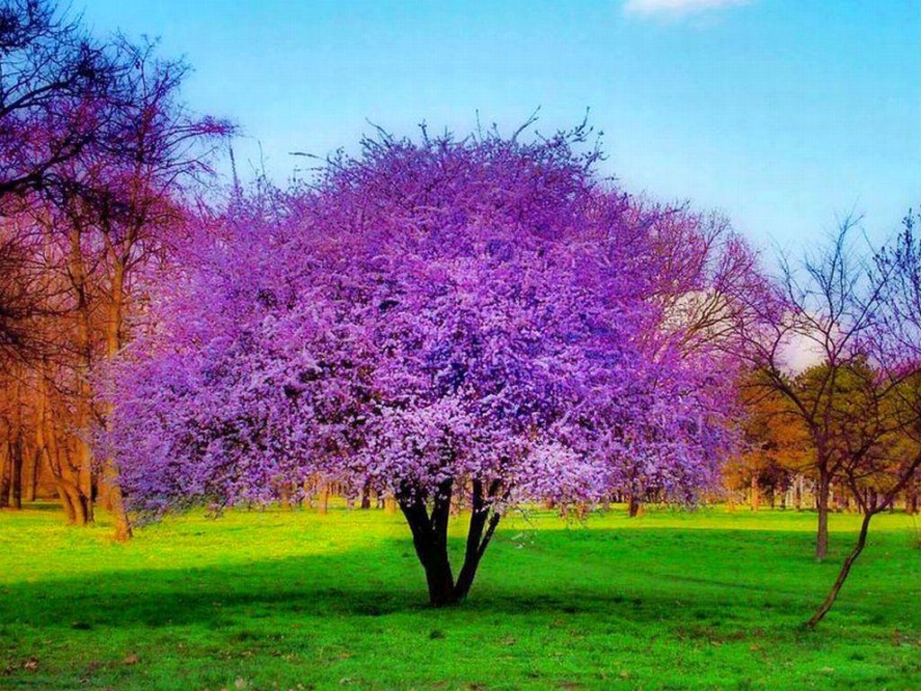 допустить лиловое дерево фото тормозную