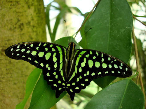 Butterflies images green butterfly wallpaper and background photos 500x375