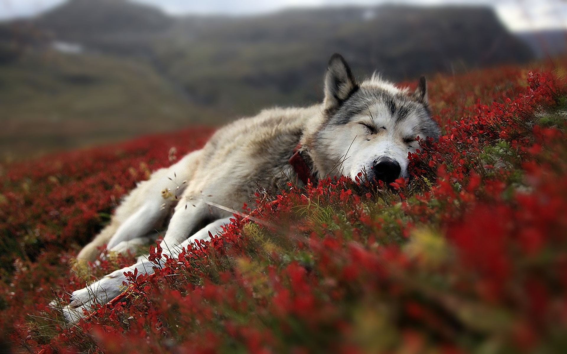 Wolf Animal Wide Desktop Wallpapers In HD Wild Life 1920x1200