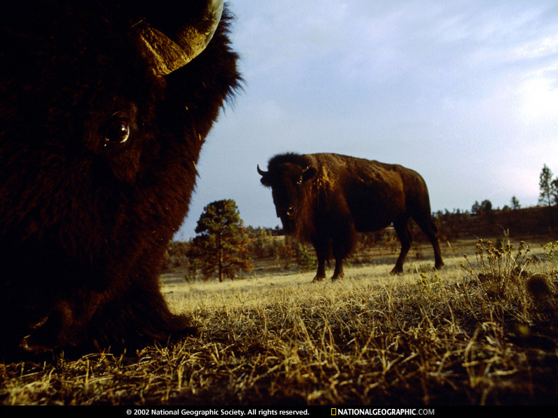 Plains Great Plains Buffalo 1997 Photo of the Day Picture 800x600