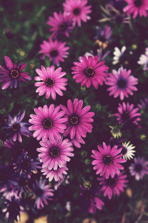 wallpaper background iphone android flower floral nature purple daisy 500x750
