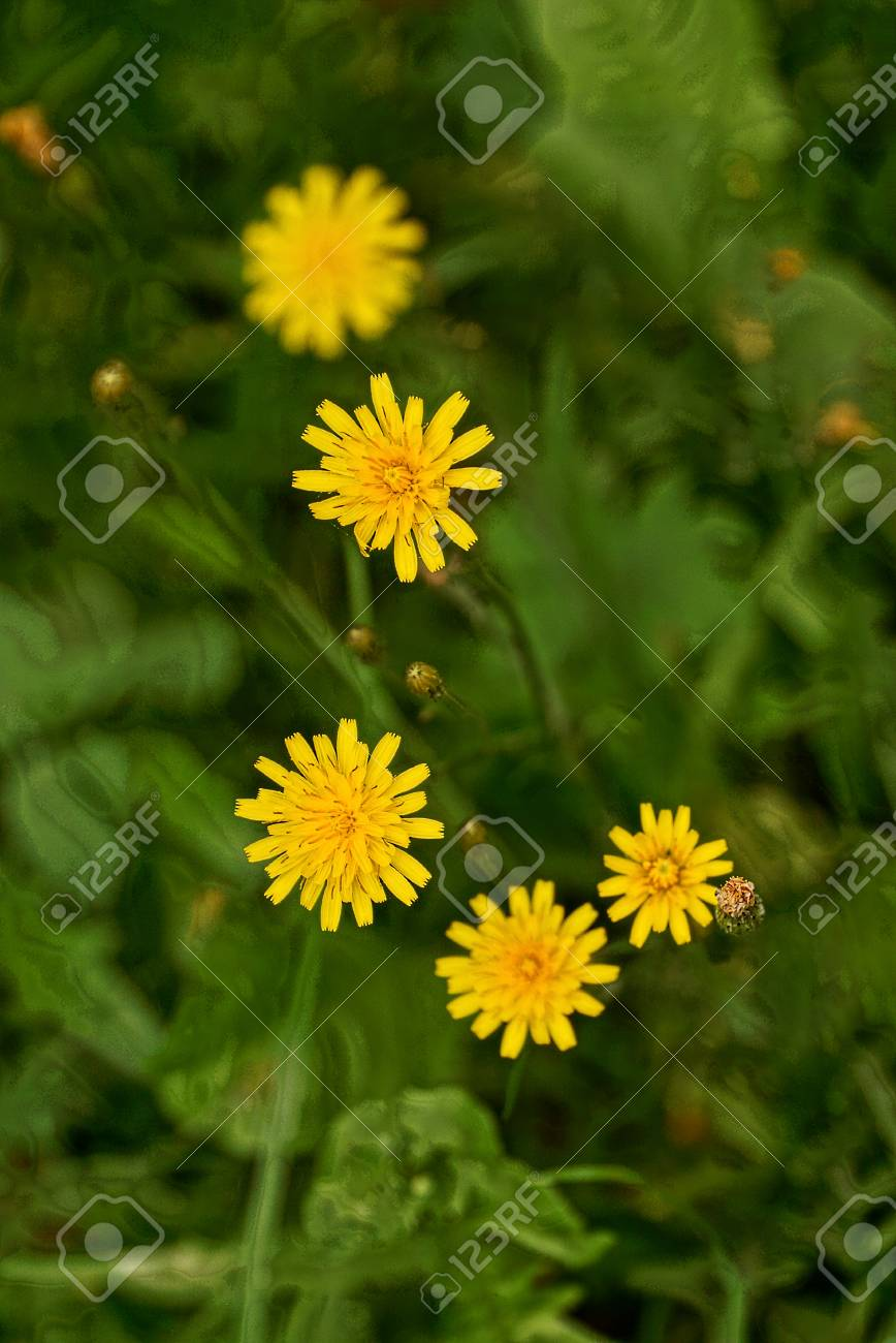 Small Yellow Wildflowers On A Green Background Of Vegetation Stock 868x1300