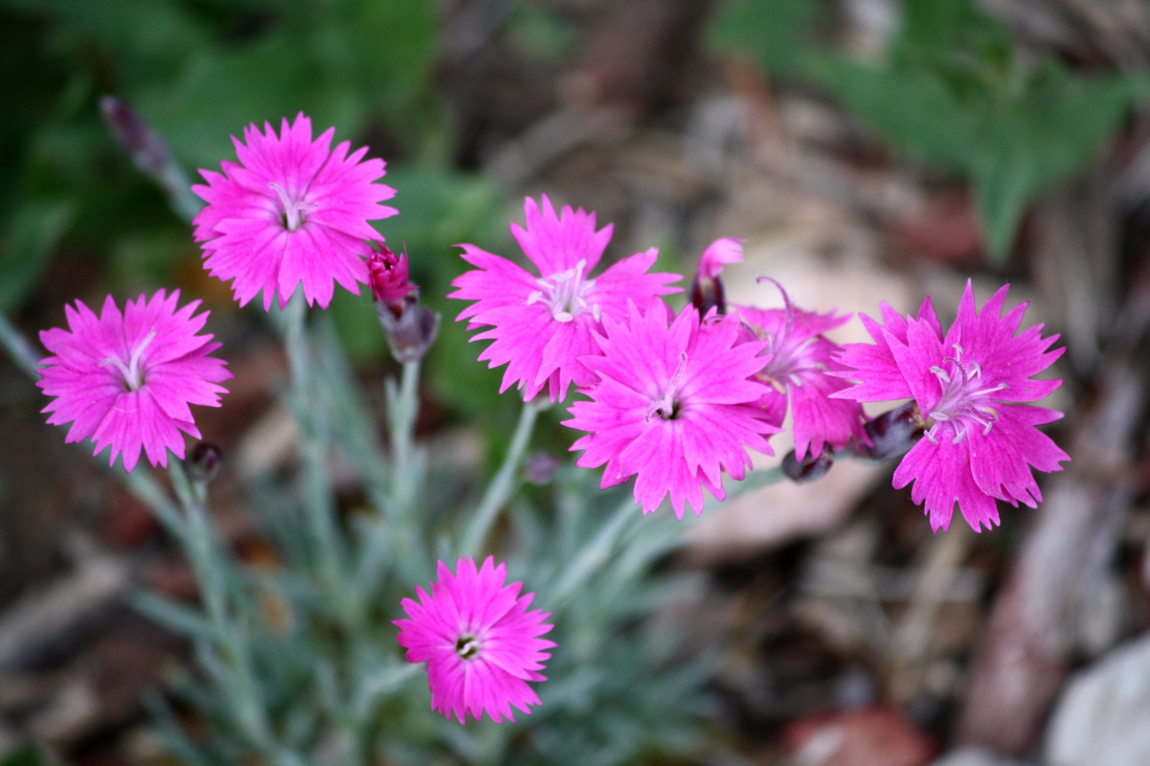 Pink Dianthus Flowers Picture Photograph Photos Public Domain 3888x2592