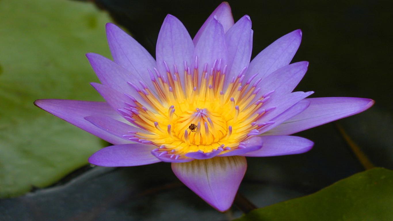 Lotus Sternum Temporary Tattoo