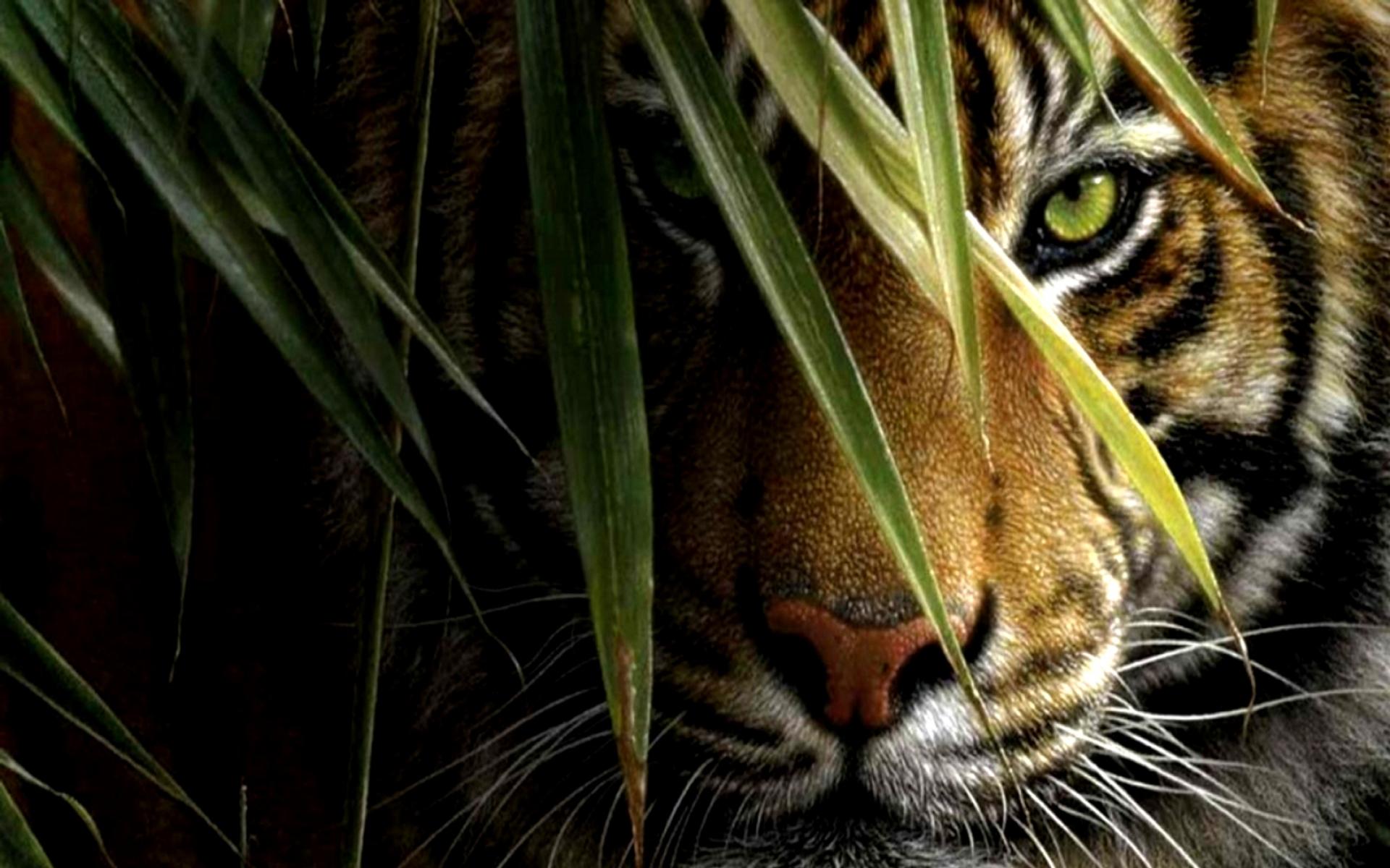 Tiger HD Wallpaper Download Tiger Desktop HD Wallpaper HD 1920x1200
