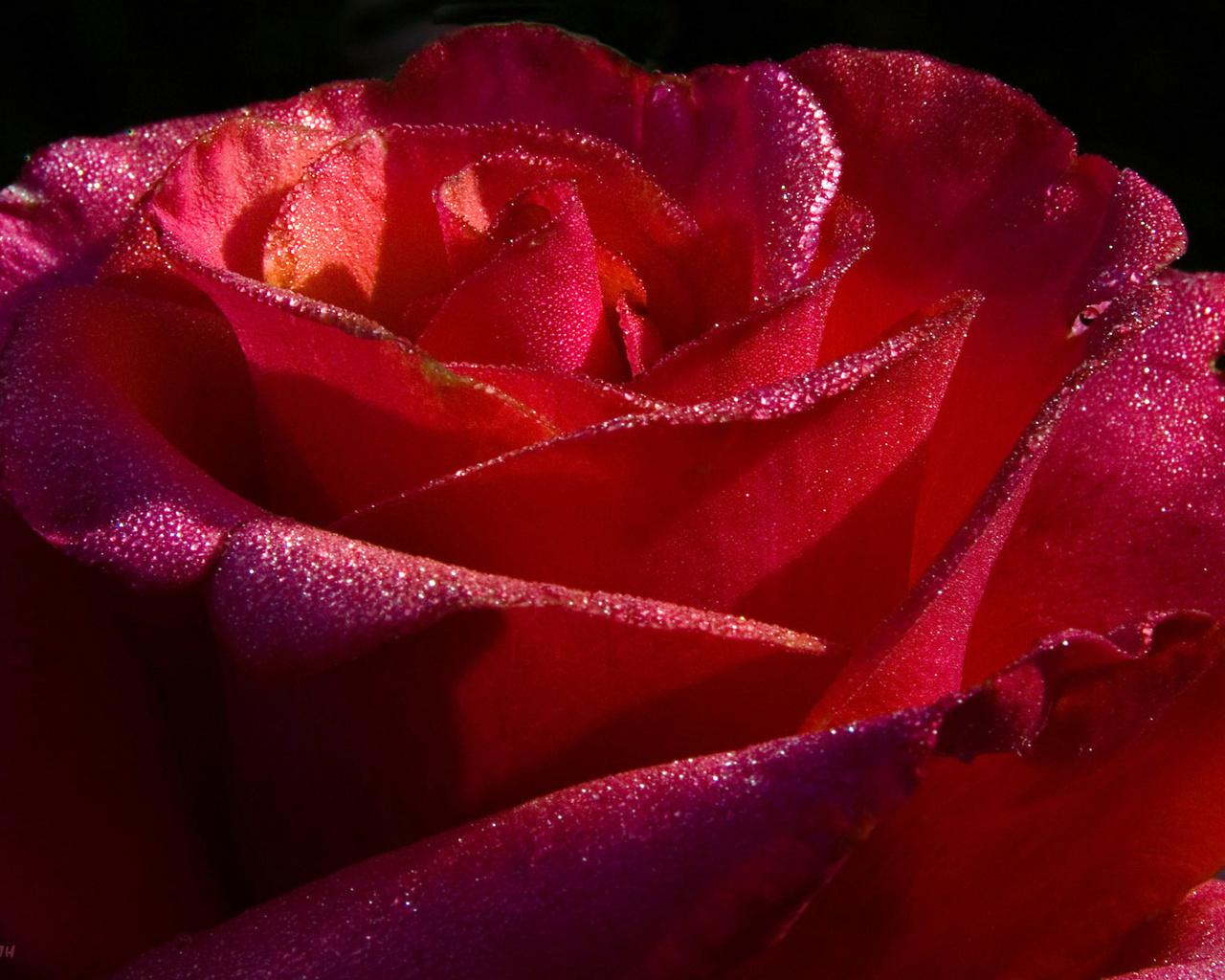 Red Roses Desktop Wallpapers   Wallpaper High Definition 1280x1024