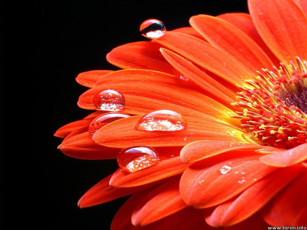 Orange Sunflower   Flowers Wallpaper 34611406 1024x768