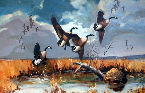 wallpaper goose flying canadian canadian geese geese wallpapers 596x380