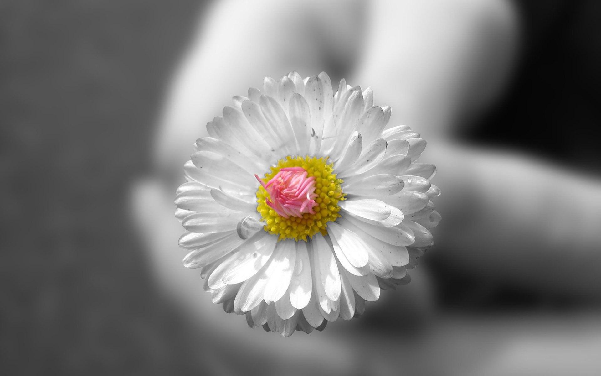 Happy First Day of Spring White Dahlia 1920x1200 Flower 1920x1200