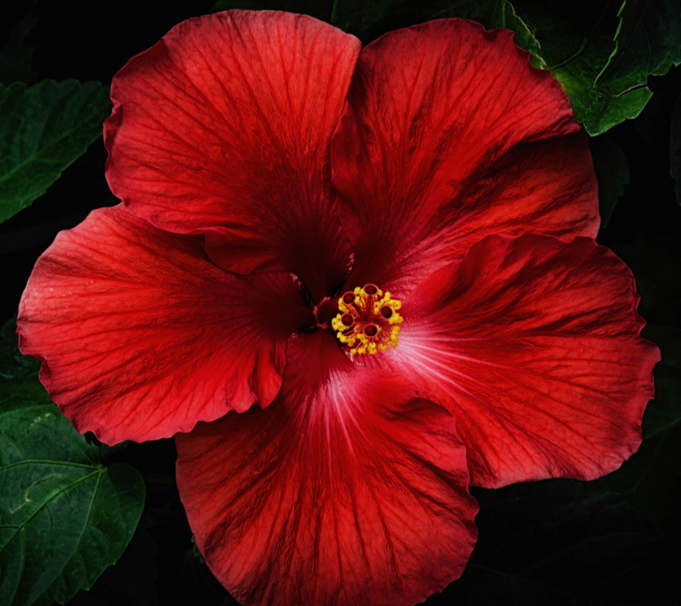 EarthHibiscus 2880x2560 Wallpaper ID 664633   Mobile Abyss 2880x2560