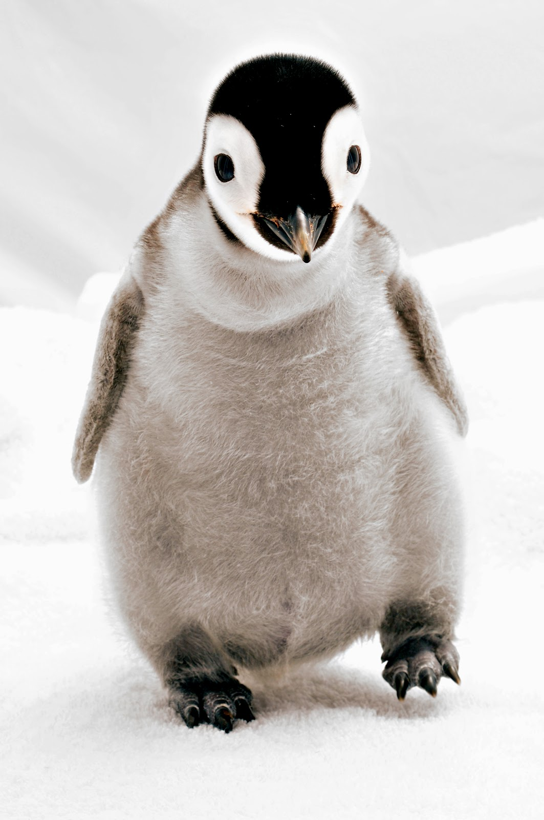 Cute penguins cute mighty pictures - Cute Penguins Cute Mighty Pictures
