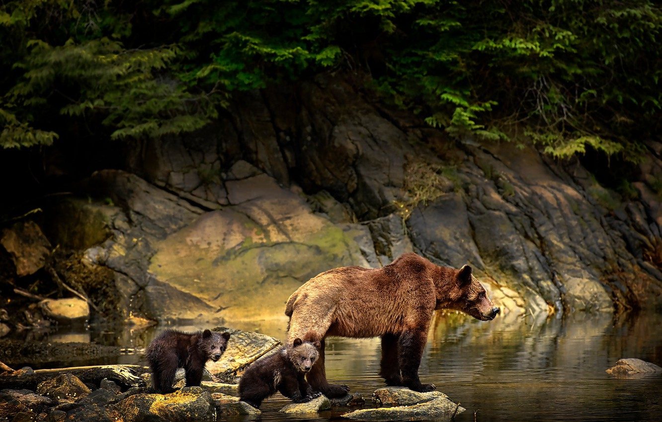 Wallpaper animals water branches nature stones bears bears 1332x850