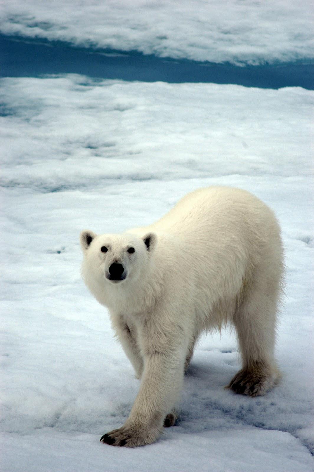 Polar Bear HD Wallpapers High Definition iPhone HD Wallpapers 1064x1600