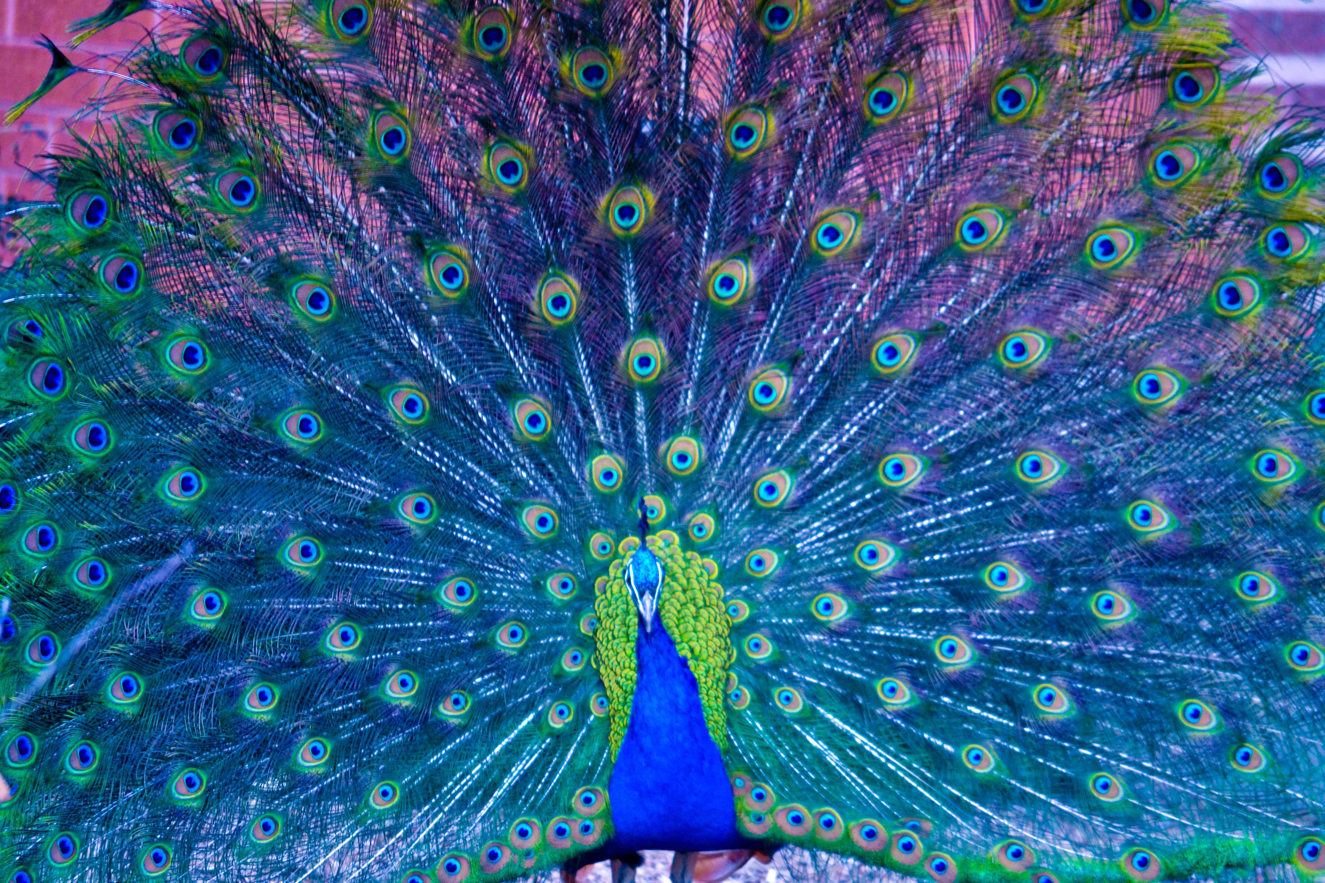 peacock hd wallpaper   wallpapersafari
