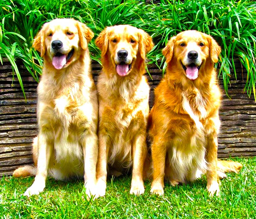 Baby Golden Retriever Wallpaper Wallpapersafari