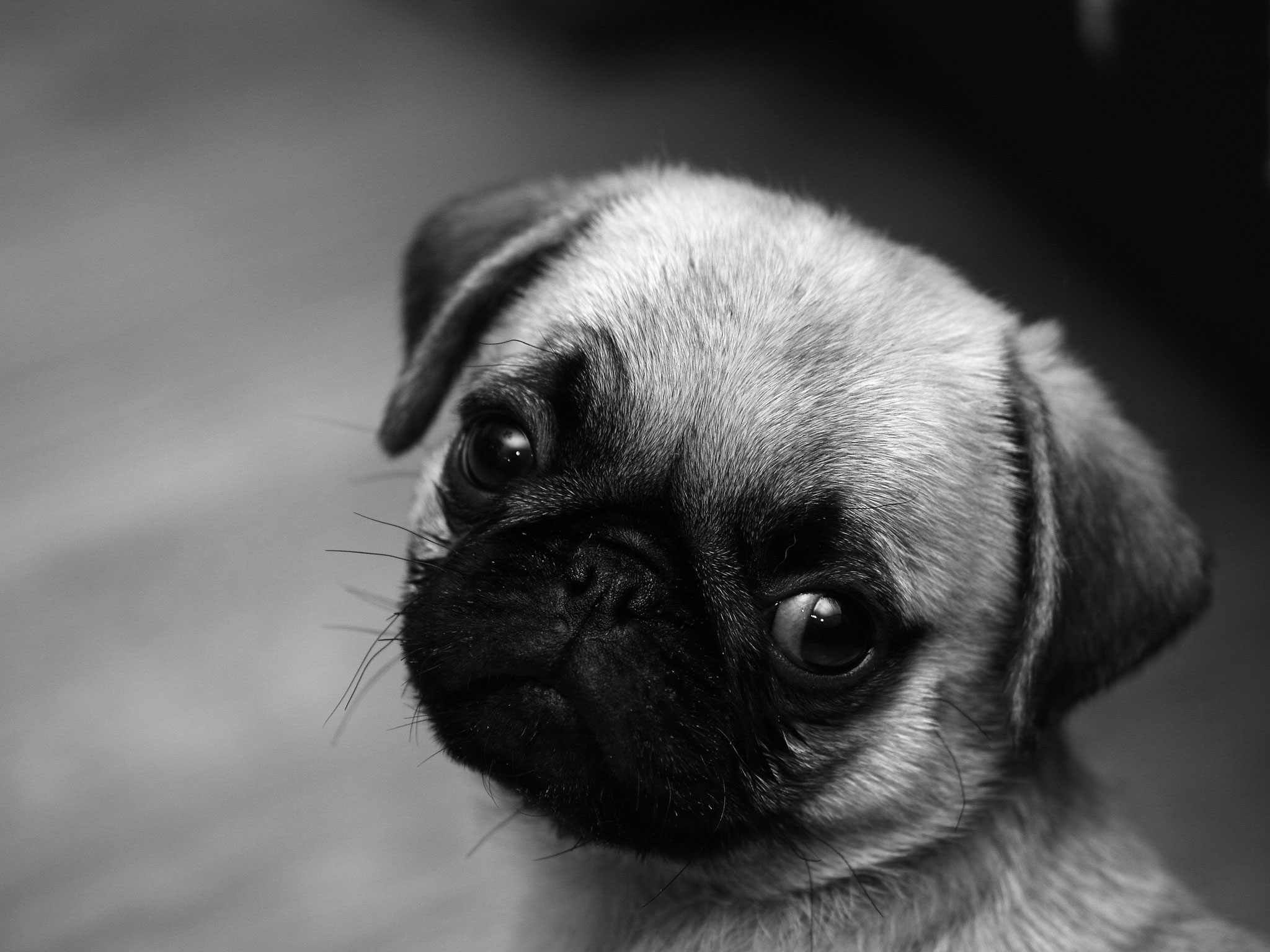 Cute Pug Wallpapers 2048x1536