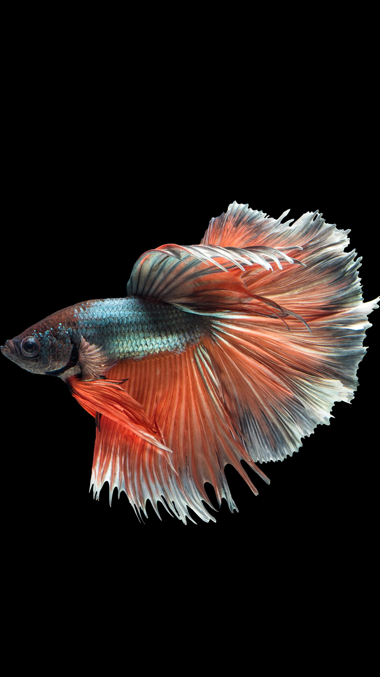 Apple iPhone 6s Wallpaper with Multicolor Male Betta Fish in Dark 750x1334