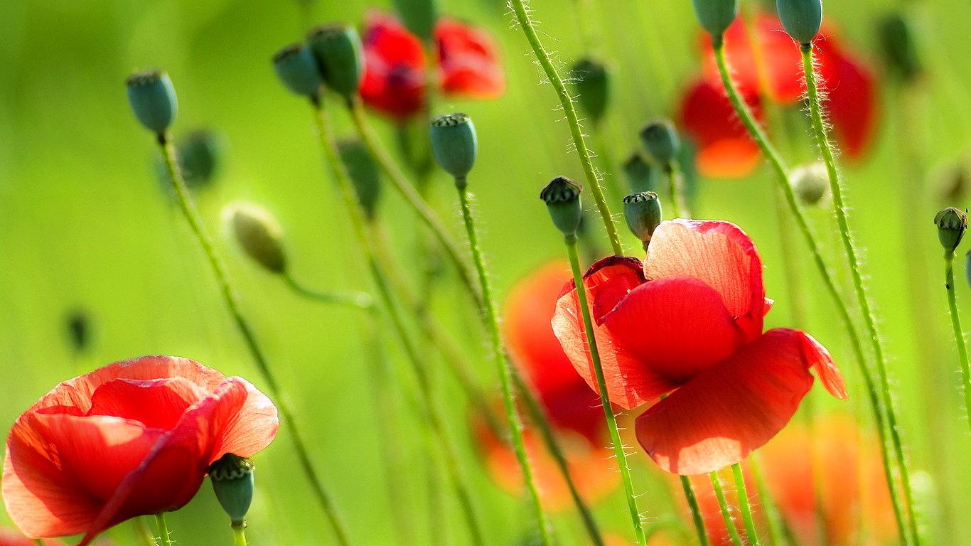 free flower screensavers and wallpaper MEMEs 1366x768