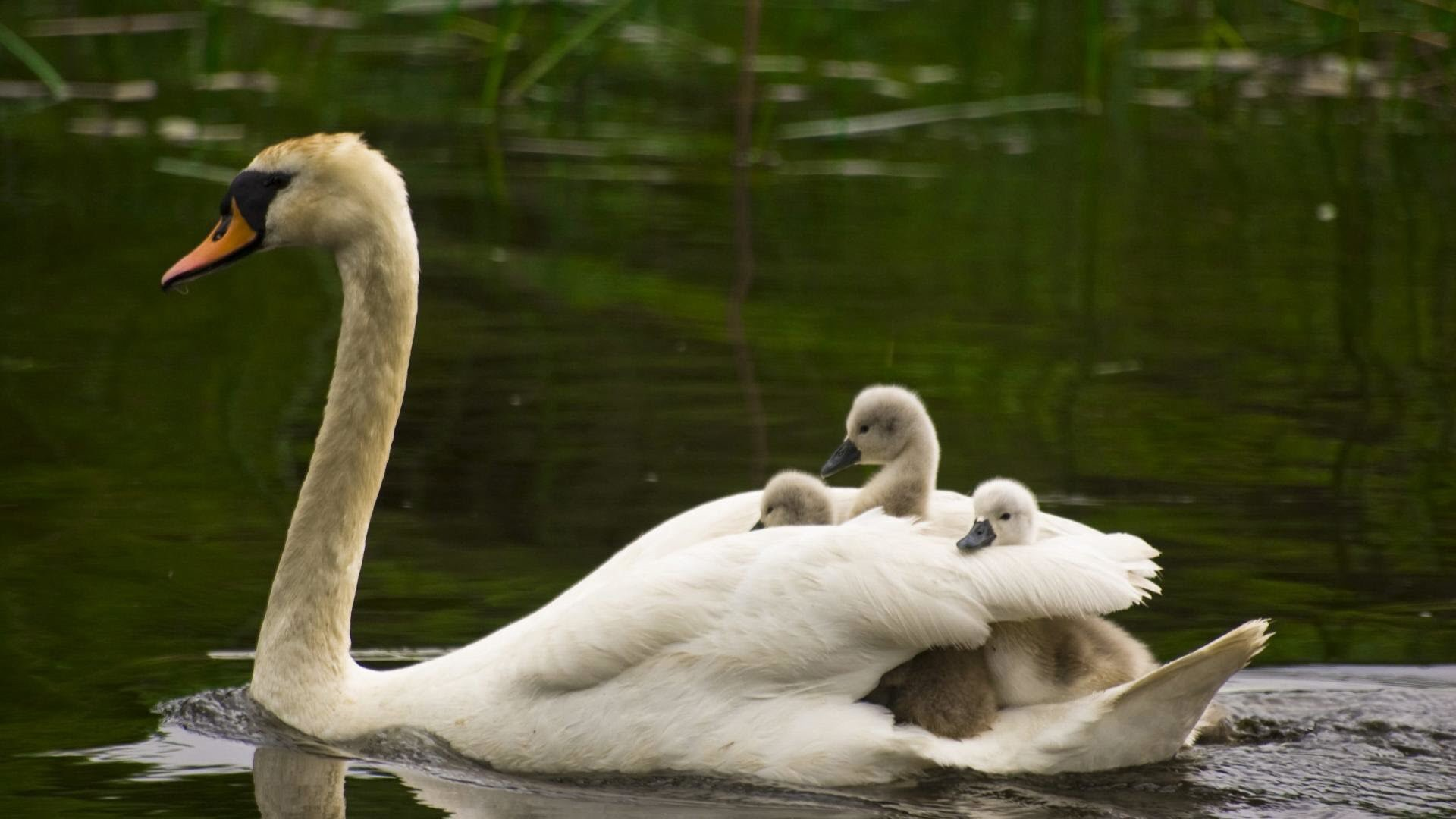 Swan with Baby Swimming in Water HD Bird Wallpaper HD Wallpapers 1920x1080