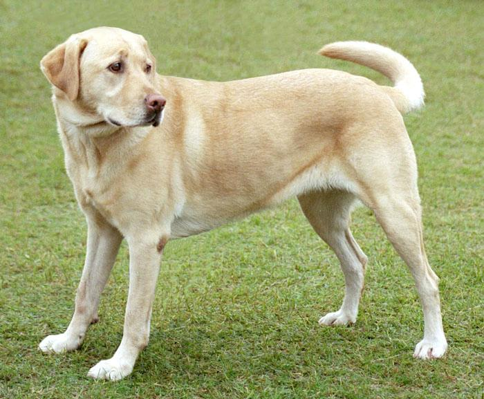 Description YellowLabradorLooking newjpg 700x577