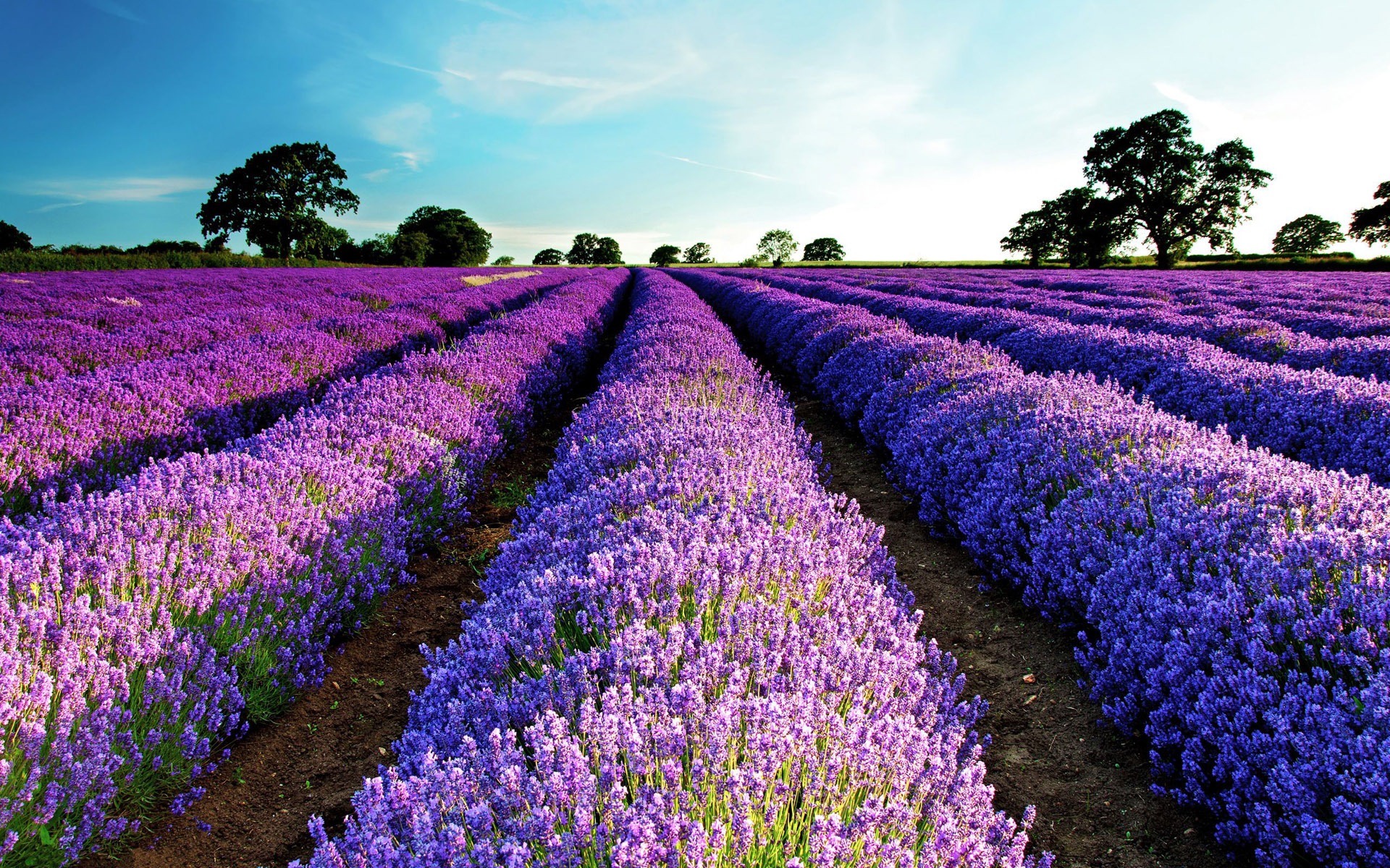 HD Lavender Flower Backgrounds 1920x1200