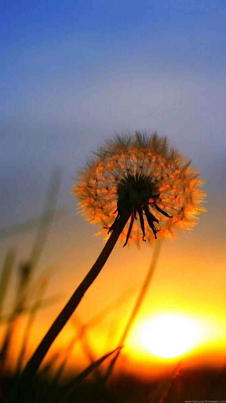 Dandelion Sunset Lock Screen 720x1280 Samsung Galaxy Note 2 Wallpaper 720x1280