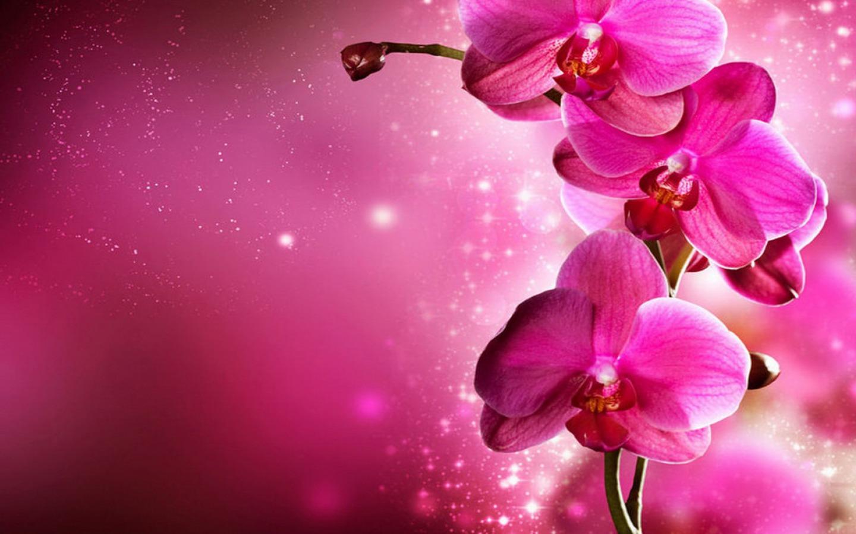 Cattleya Hybrid Beautiful Orchid Flowers On Farm