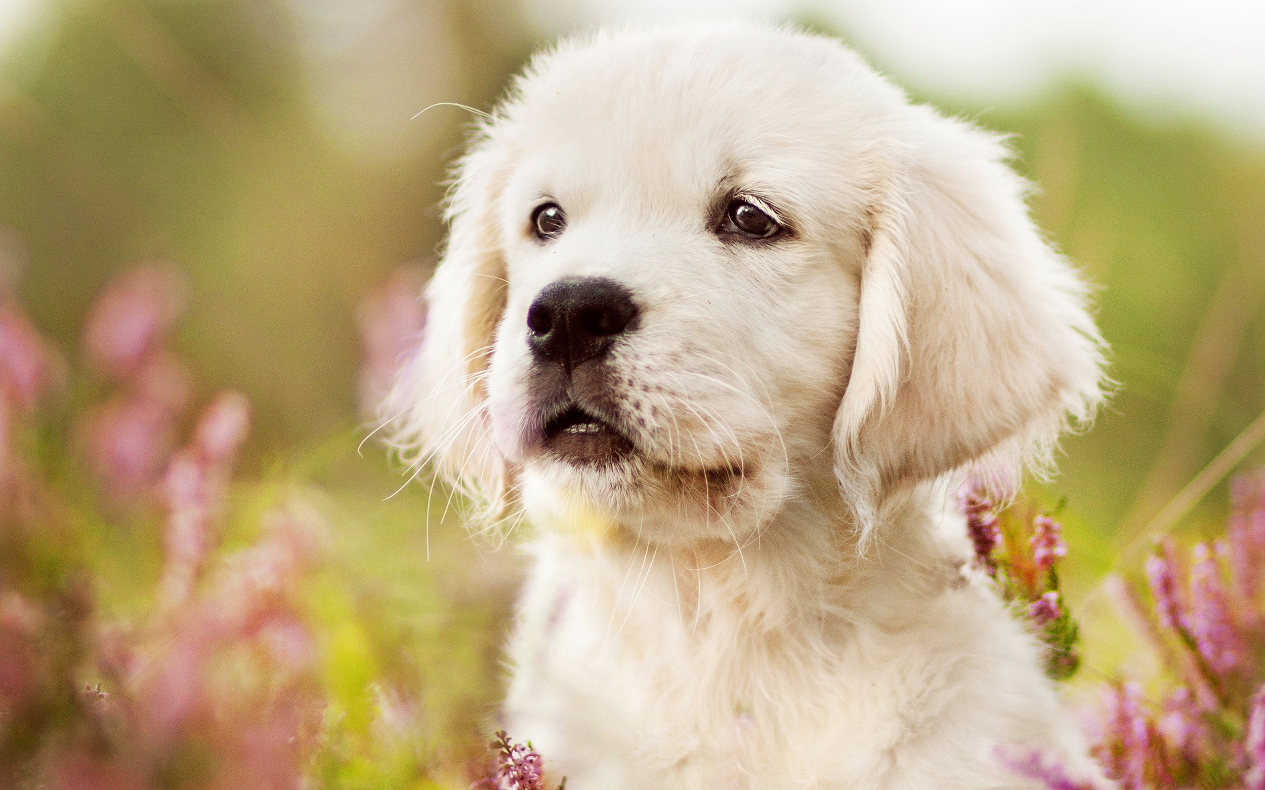 Wallpaper of Baby Animal Dog Golden Retriever Pet Puppy 2560x1600