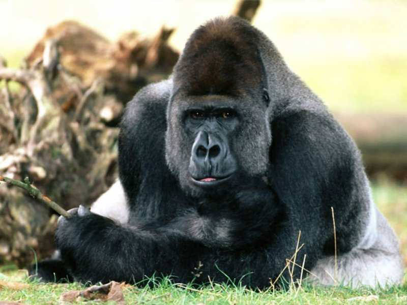 an introduction to the nature of gorilla gorilla In mountain gorilla range, where gorillas frequently raid farms, they are susceptible to scabies, tb and a host of other diseases from human transmission weak law enforcement both the.