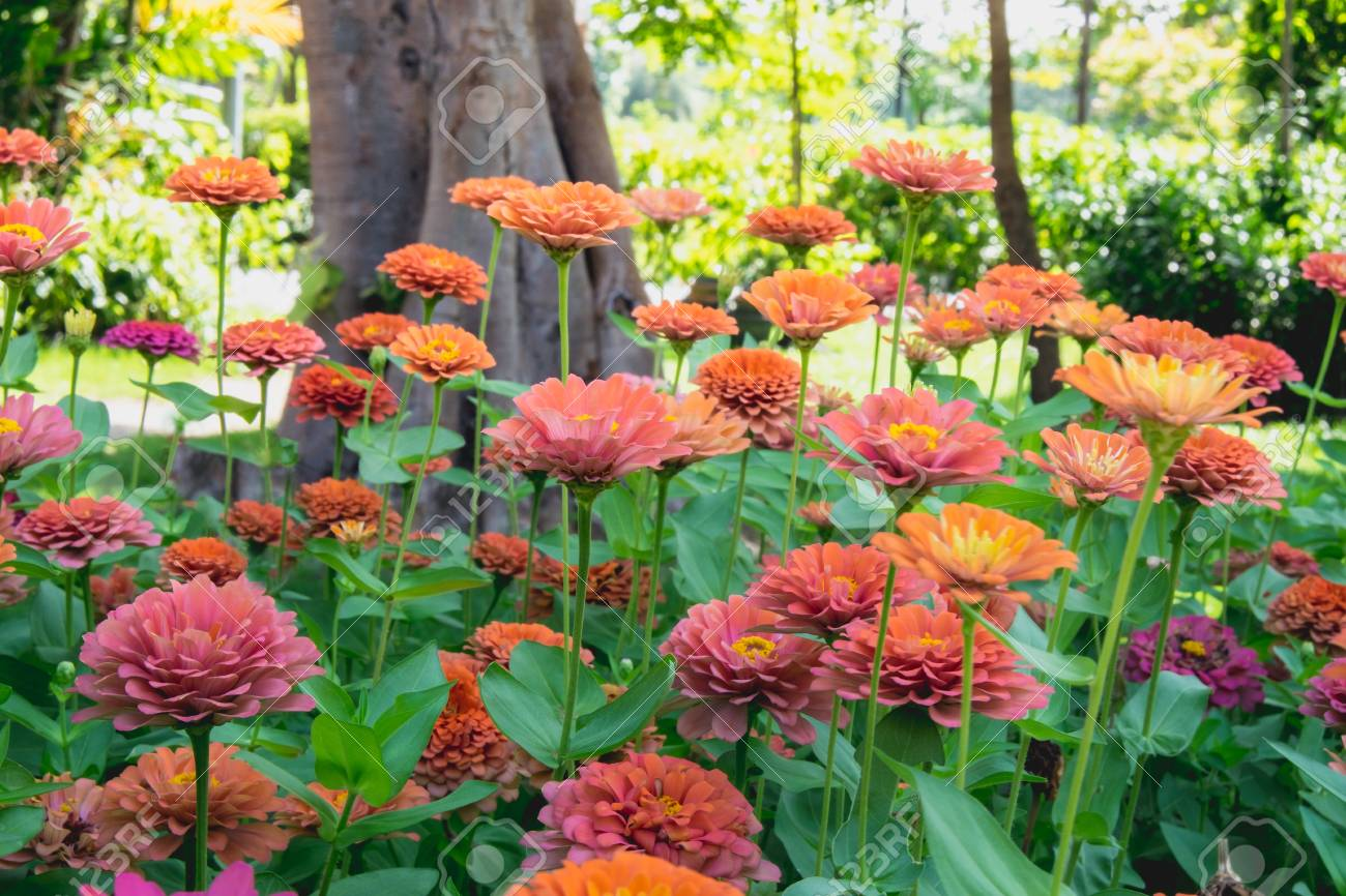 Colorful Zinnia Flowers Field Background Stock Photo Picture And 1300x866