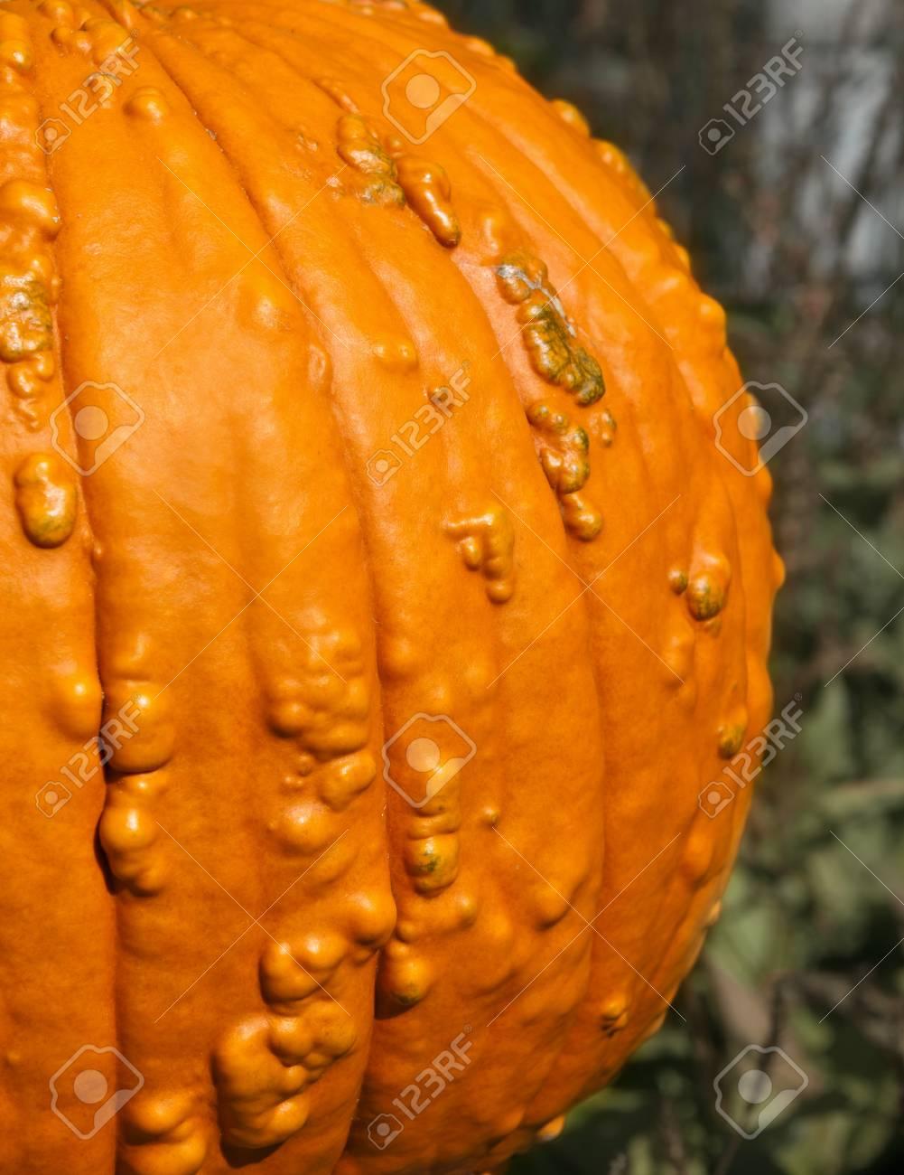 Fresh Harvest Orange Yellow Pumpkin Halloween Thanksgiving 1001x1300