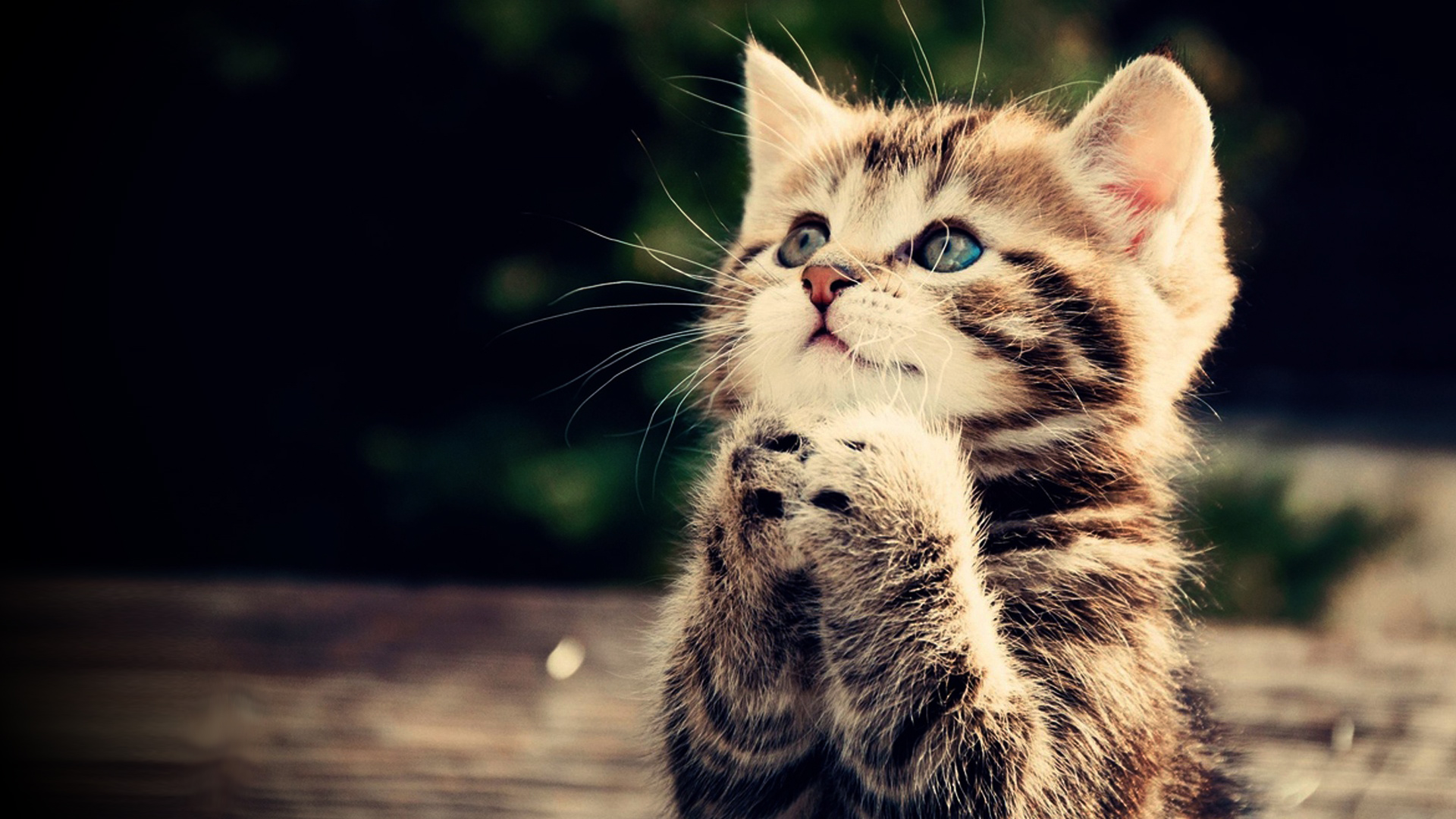 Praying kitten Full HD wallpaper cute animal picture 1080p download 1920x1080