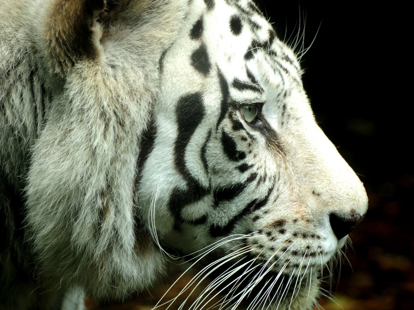 White Tigers Hd 1400x1050px Wallpapers 698 Animal   bwallescom 1400x1050