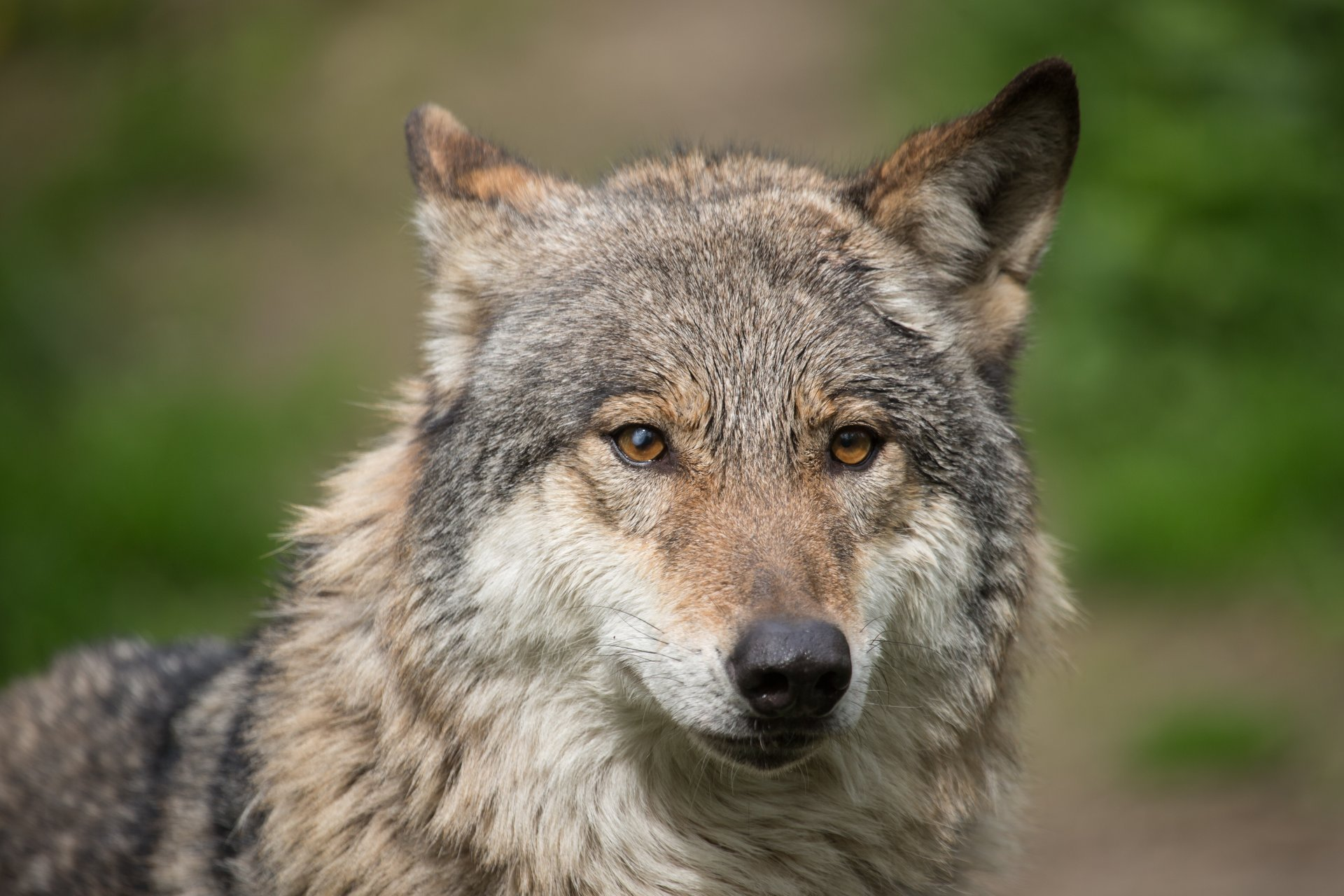 Wolf Face Wallpapers - WallpaperSafari