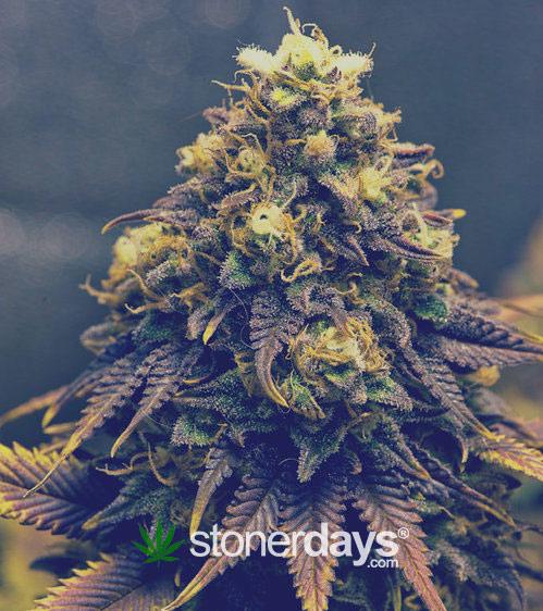 Searched For Marijuana Wallpaper 420 Screensaver Stoner 499x562