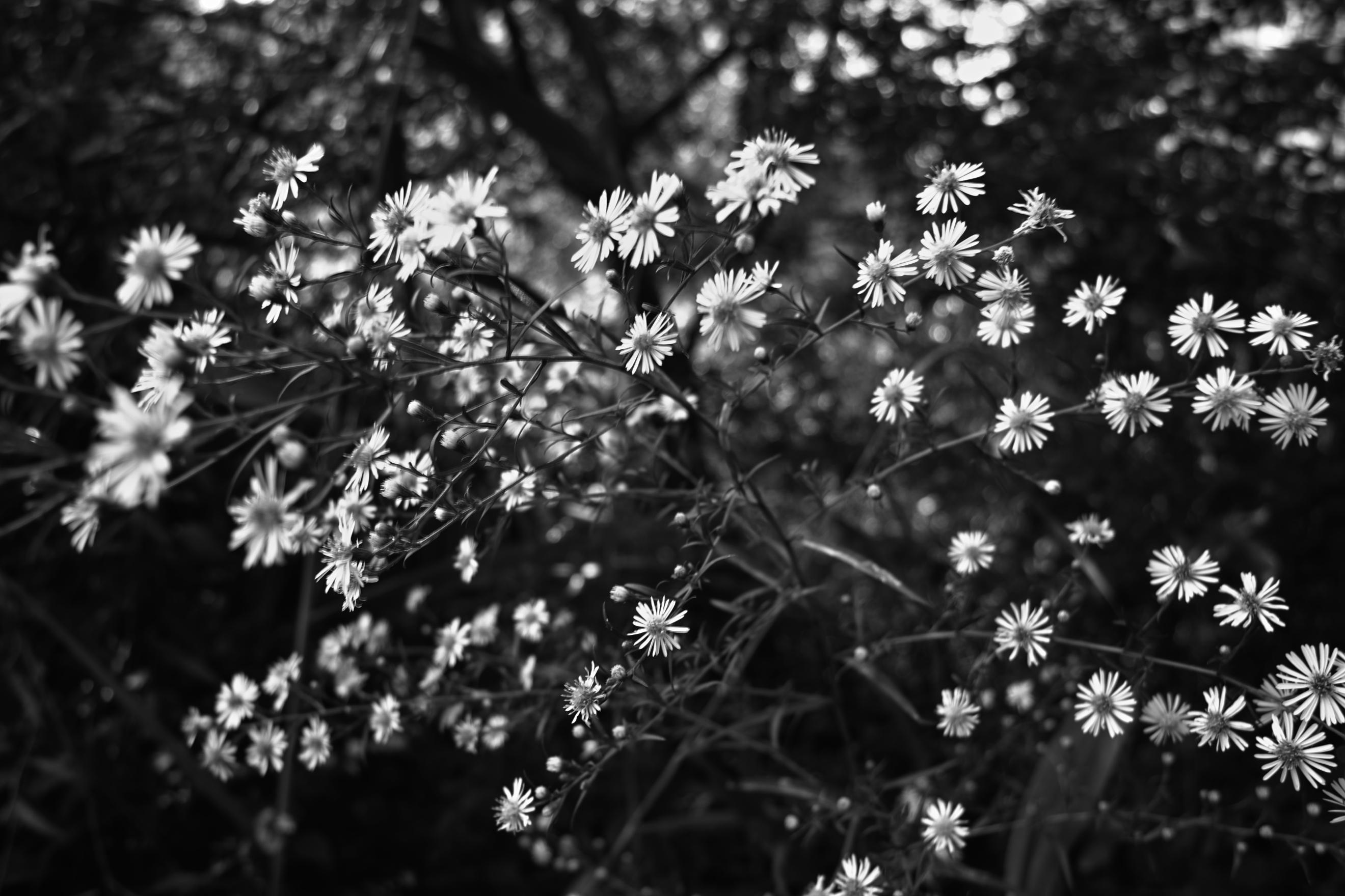 Daisy flower tumblr pink black and white flowers wallpaper wallpapersafari izmirmasajfo