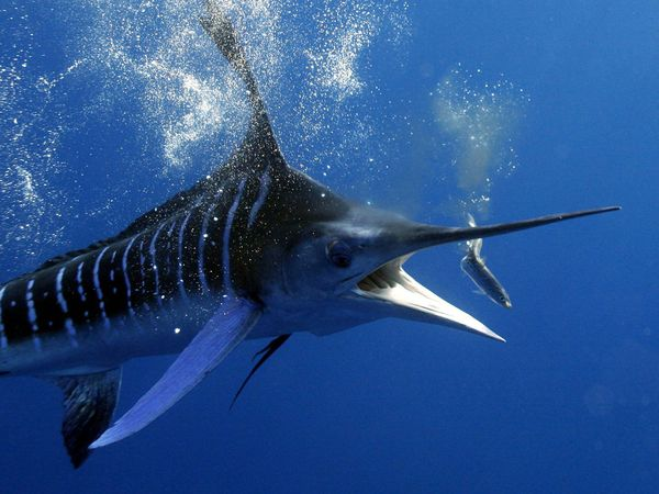 marlin ocean blue 18361 600x450jpg 600x450