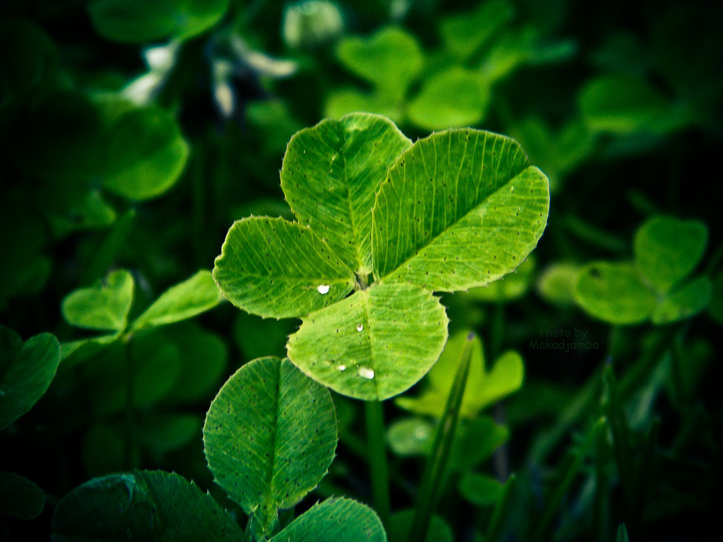 four leaf clovers by Makadjamba 1032x774
