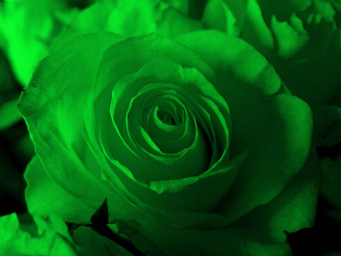 Green Rose flowers flowers 1133x850