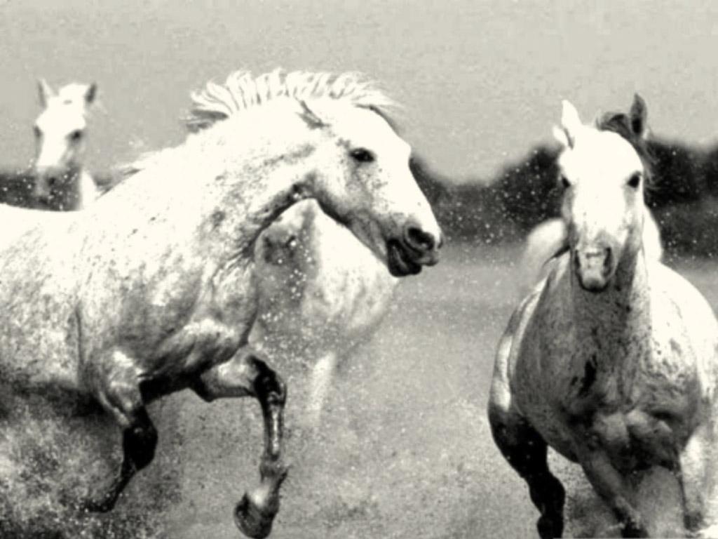 Black and White Horses Wallpaper kiyute80 1024x768