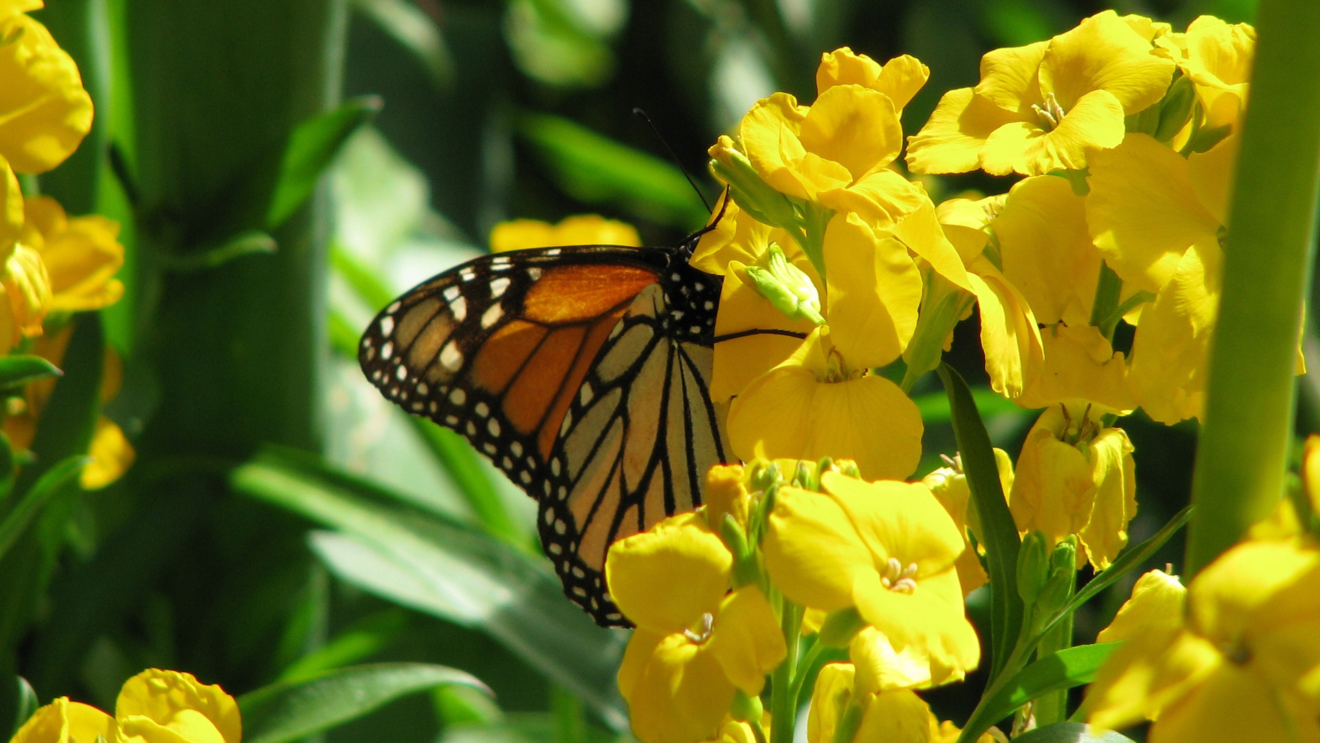 [48+] Beautiful Butterflies and Flowers Wallpapers on ...