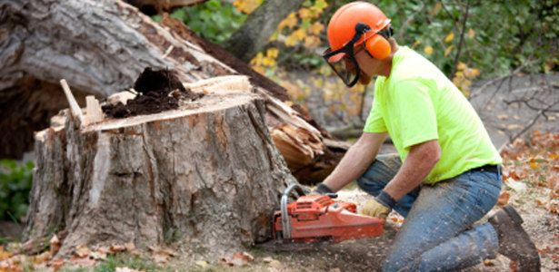 Related to Toronto Tree Removal service company Ontario stump root 615x300