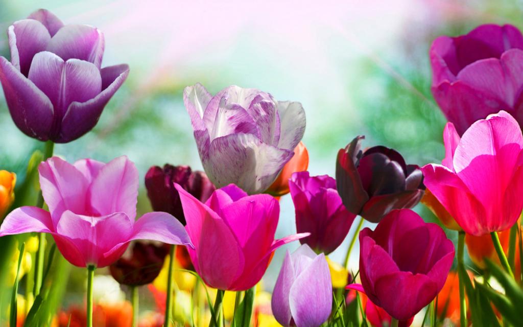 spring wallpaper tulip flowers 1024x640
