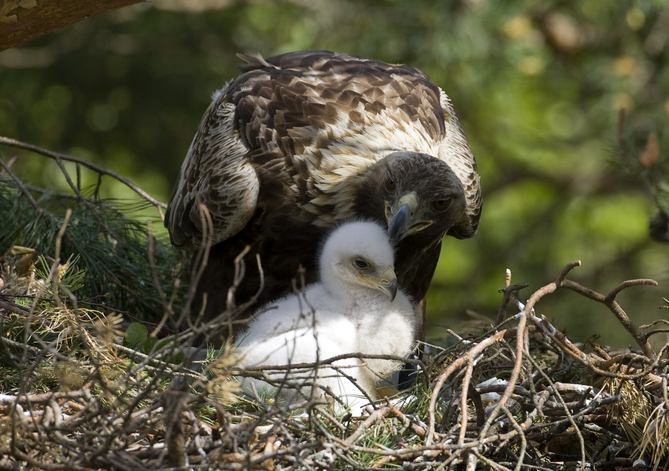 Download May 25 A golden eagle stands with its chick inside its nest 669x471