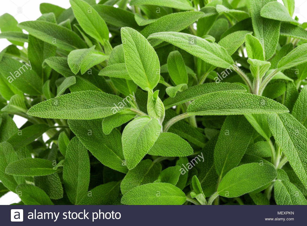 Sage plants salvia officinalis background Stock Photo 181297417 1300x957
